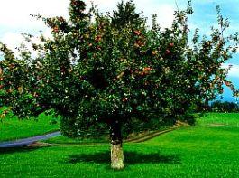 uttwiler-tree